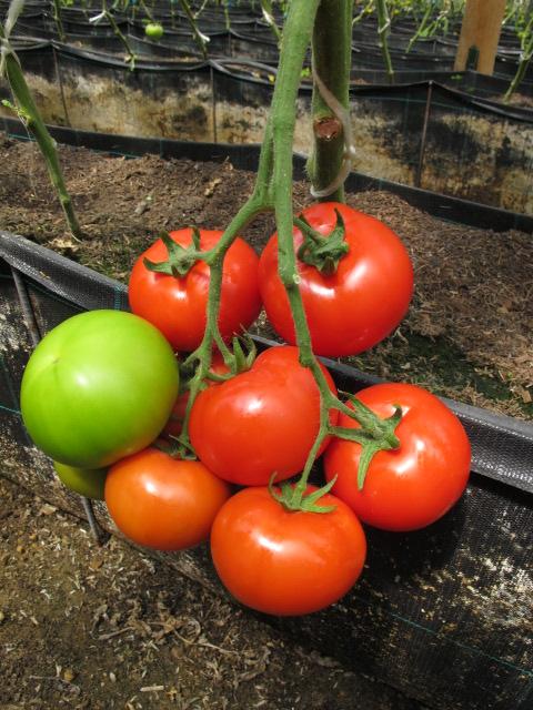 Semilla-De-Tomate-Apolo-Híbrido