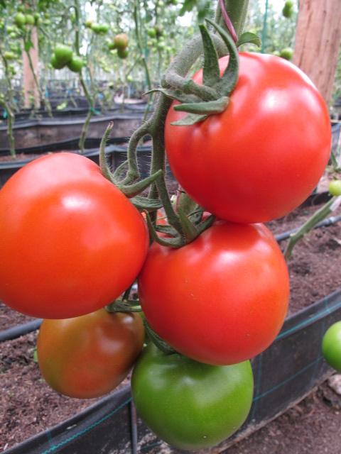 Semilla-De-Tomate-Chonto-AG18-Híbrido