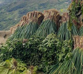 Cebolla-Junca-Agro-Antioquia-Digital.JPG