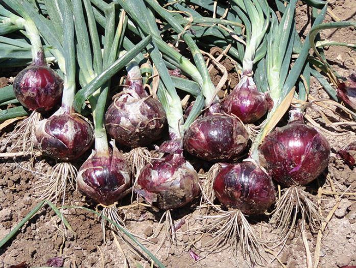 Cebolla hibrida malbec agroreza