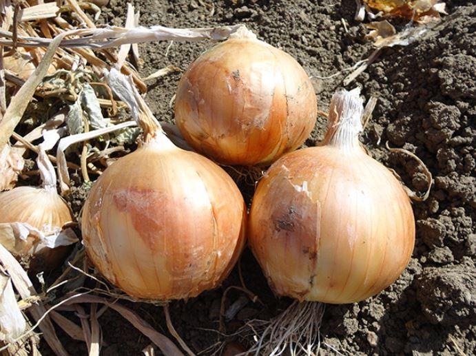 Cebolla sirius agroreza