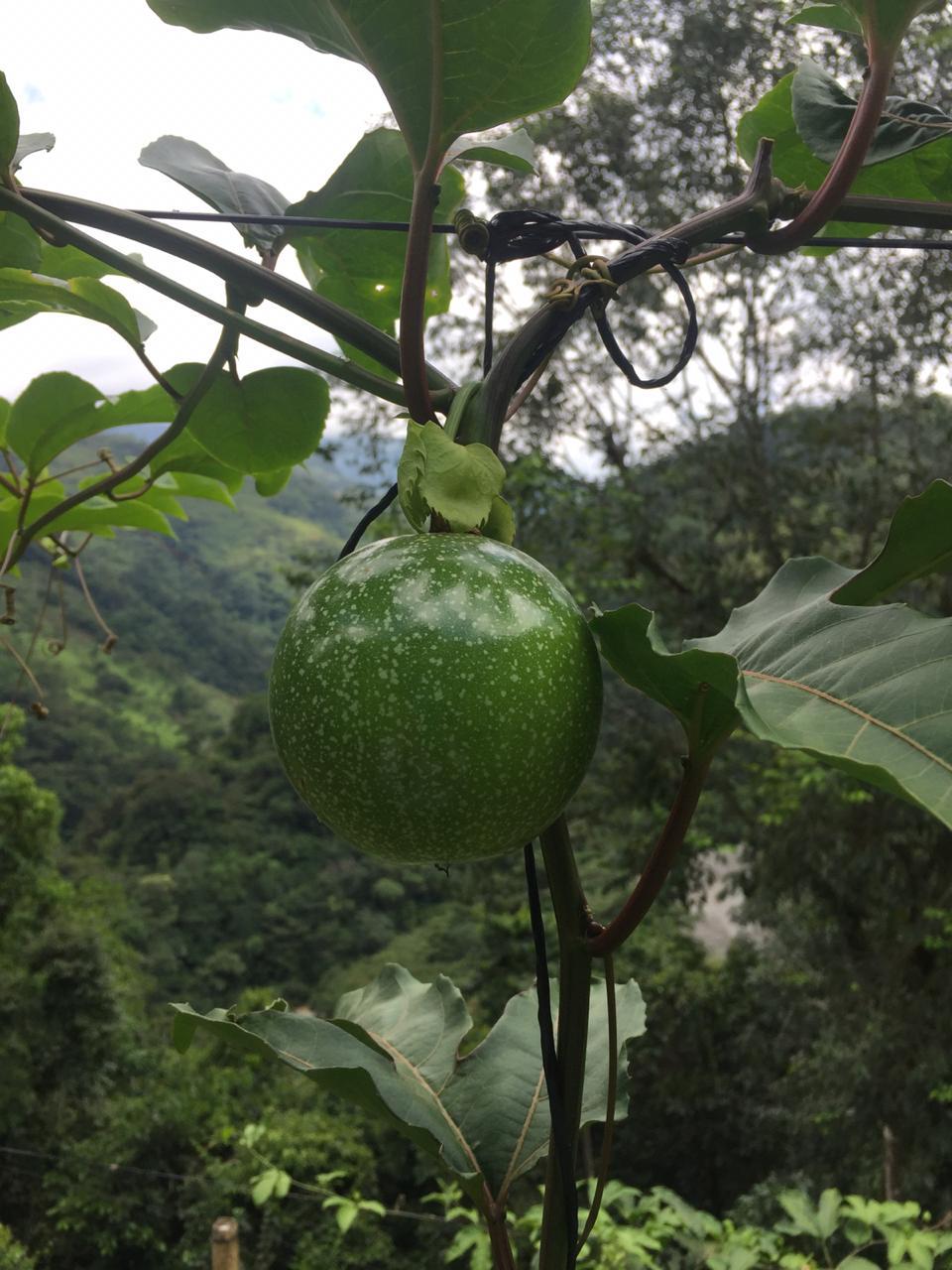 Maracuyá-Agro-Antioquia-digital.jpg