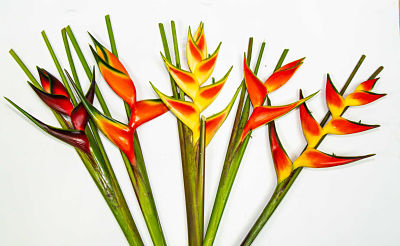Producto-Heliconia-Large.jpg
