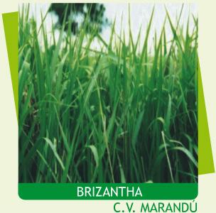 Semillas-Brachiaria-Brizantha-C.V.-Marandú-Semillas-y-semillas.jpg