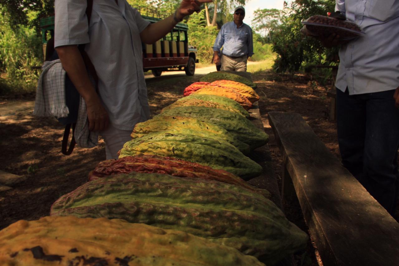 Fruta-de-cacao