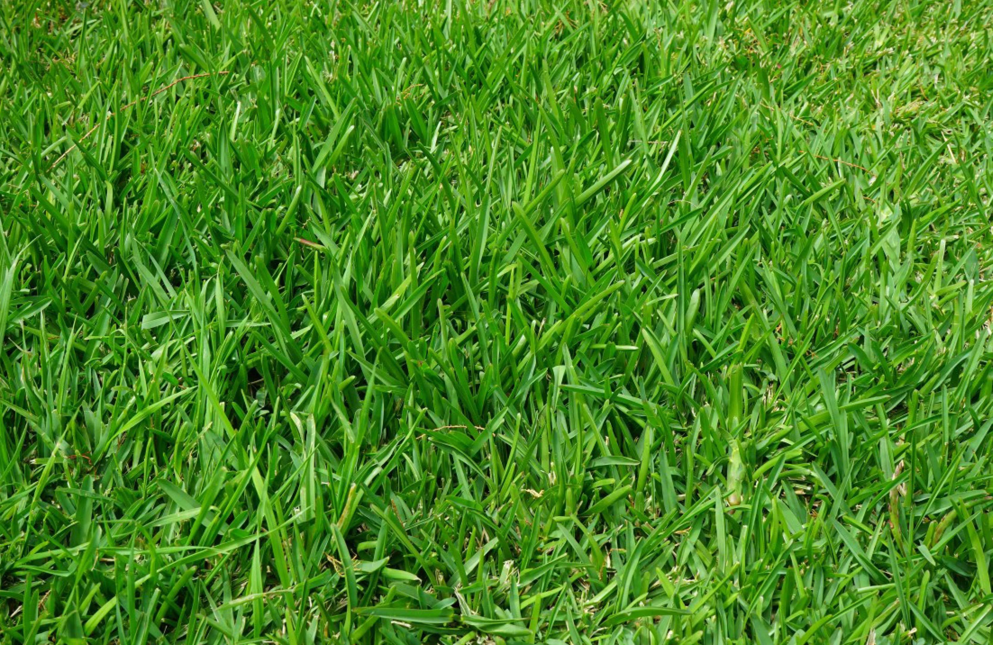 Grama-Bermuda-Semillas-y-Semillas.jpg