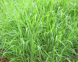 Semillas brachiaria ruziziensis c.v. ruzi grass semillas y semillas
