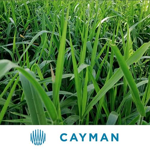 Cayman thmb